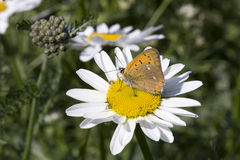 Scarce Copper butterfly on Oxeye Daisy. Close up royalty free stock photos