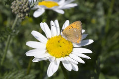 Scarce Copper butterfly on Oxeye Daisy. Close up stock photography