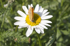 Scarce Copper butterfly on Oxeye Daisy. Close up royalty free stock photo