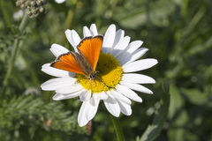 Scarce Copper butterfly on Oxeye Daisy. Close up stock image