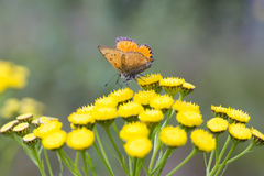 Scarce Copper butterfly on Tansy Flower Royalty Free Stock Photo