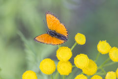 Scarce Copper butterfly on Tansy Flower Stock Photos
