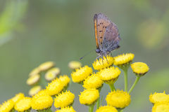 Scarce Copper butterfly on Tansy Flower Royalty Free Stock Image