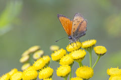 Scarce Copper butterfly on Tansy Flower Royalty Free Stock Photography