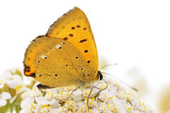 Scarce copper (Chrysophanus virgaureae) butterfly Stock Photography