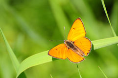 Scarce Copper, Lycaena virgaureae Royalty Free Stock Images