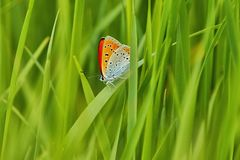 Scarce Copper Lycaena virgaureae, Butterfly hidden between the blades of grass, as background Stock Images