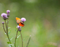 Scarce copper (Lycaena virgaureae) butterfly male and female Stock Photography