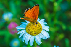 Scarce copper Lycaena virgaureae butterfly Stock Photography