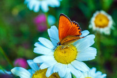 Scarce copper Lycaena virgaureae butterfly Royalty Free Stock Images