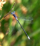 Scarce Emerald Damselfly Royalty Free Stock Photo