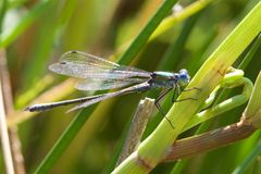 A Scarce Emerald Damselfly in the summer sun. stock images