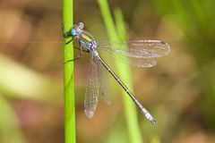 A Scarce Emerald Damselfly in the summer sun. stock photography