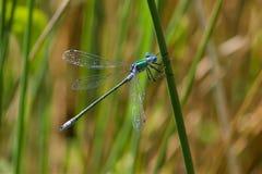 A Scarce Emerald Damselfly in the summer sun. A Scarce Emerald Damselfly, Lestes dryas, resting in the summer sun Stock Image