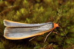 Scarce footman moth (Eilema complana) with deformed wings Stock Image