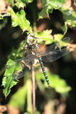 Scarce hawker. A view of a scarce or migrant hawker dragonfly on a holly twig Stock Photo
