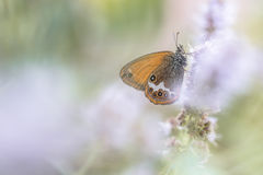 Scarce Pearly Heath Stock Images