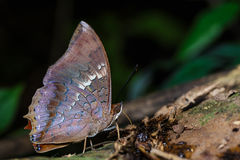 The scarce rajah butterfly is sucking food Stock Photos