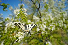 Scarce sail pear-tree swallowtail, Iphiclides podalirius, butterfly belonging to the family Papilionidae. Swallowtail sitting on. The white bloom tree, spring royalty free stock image