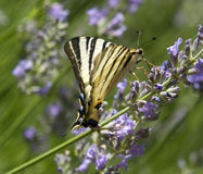 Scarce Swallowtail Royalty Free Stock Images