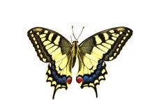 Scarce Swallowtail Stock Photography