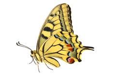 Scarce Swallowtail Stock Photos