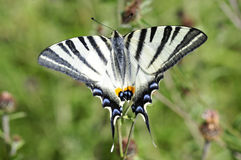 Free Scarce Swallowtail Butterfly Stock Photos - 15941963