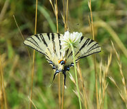 Scarce Swallowtail - Butterfly Drinking Nectar Royalty Free Stock Image