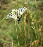 Scarce Swallowtail - Butterfly Drinking Nectar Stock Images
