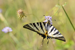 Scarce Swallowtail butterfly on flower Stock Image