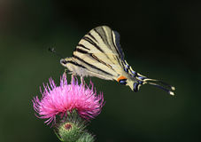 Swallowtail butterfly. On a wild flower Royalty Free Stock Images