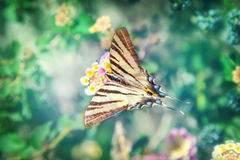 Scarce swallowtail butterfly Stock Image