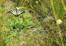 Scarce Swallowtail - Butterfly Stock Photo