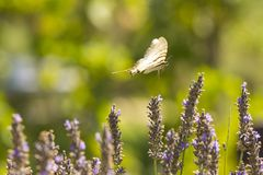 Scarce swallowtail butterfly Iphiclides podalirius butterfly o Royalty Free Stock Images