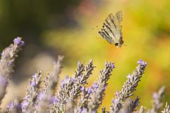 Scarce swallowtail butterfly Iphiclides podalirius butterfly o royalty free stock photography