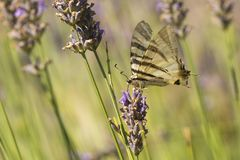 Scarce swallowtail butterfly Iphiclides podalirius butterfly o stock image