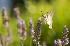 Scarce swallowtail butterfly Iphiclides podalirius butterfly o stock photos