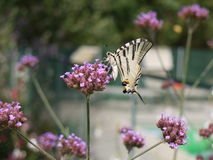 Scarce Swallowtail Butterfly Royalty Free Stock Photos