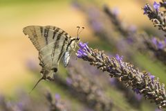Scarce swallowtail butterfly Iphiclides podalirius butterfly o royalty free stock image