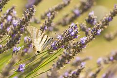 Scarce swallowtail butterfly Iphiclides podalirius butterfly on purple lavender flowers. Scarce swallowtail butterfly Iphiclides podalirius flying flower to royalty free stock photo