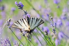 Scarce Swallowtail butterfly sitting on wild lavender flowers. Iphiclides podalirius royalty free stock images