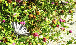 Scarce swallowtail butterfly (Iphiclides podalirius) Stock Images