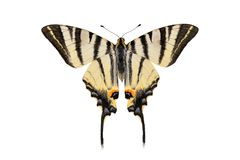 Scarce swallowtail butterfly, isolated on white background Royalty Free Stock Image