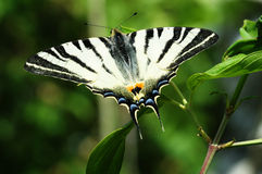 Scarce Swallowtail butterfly macro Stock Images