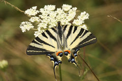 Scarce Swallowtail butterfly Royalty Free Stock Image