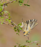 Scarce Swallowtail Butterfly Stock Images