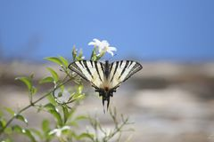 Butterfly and flower. Scarce swallowtail butterfly standing on a white summer flower. Image taken on Tinos Island in Greece stock photography