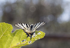 Scarce swallowtail butterfly Stock Photos