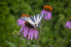 Scarce swallowtail on Echinacea purpurea flowering plant, eastern purple coneflower in bloom royalty free stock images