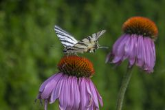 Scarce swallowtail on Echinacea purpurea flowering plant, eastern purple coneflower in bloom royalty free stock photography